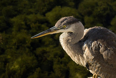 Photograph - The Focused Hunter - Great Blue Heron Watching For Fish by Georgia Mizuleva