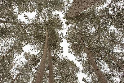 Itasca State Park Photograph - The Forest Canopy by Tim Grams