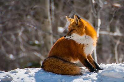 Photograph - The Fox 2 by Thomas Lavoie