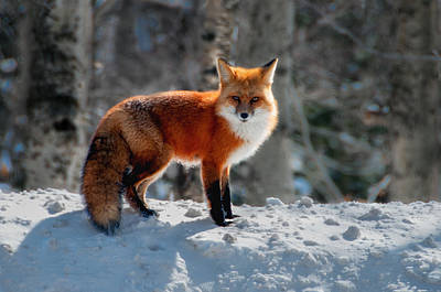 Photograph - The Fox 3 by Thomas Lavoie