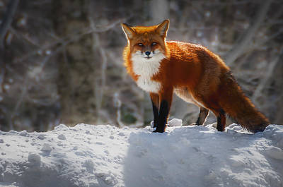 Photograph - The Fox 4 by Thomas Lavoie