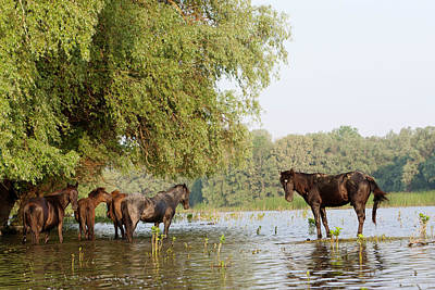Flooding Photograph - The Free Roaming Horses Of Maliuc by Martin Zwick