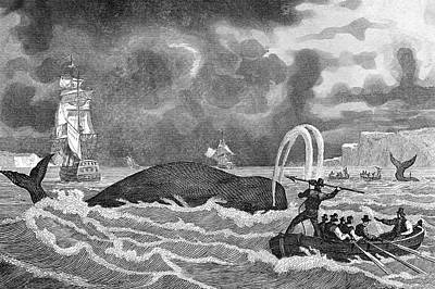 Newfoundland Drawing - The French Whaling  Off Newfoundland by Mary Evans Picture Library