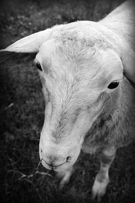 Photograph - The Friendly Sheep by Kelly Hazel