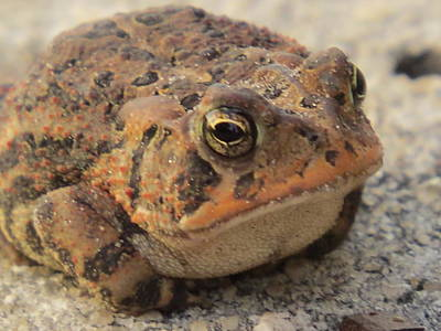 Frogs Photograph - The Frog by Zina Stromberg