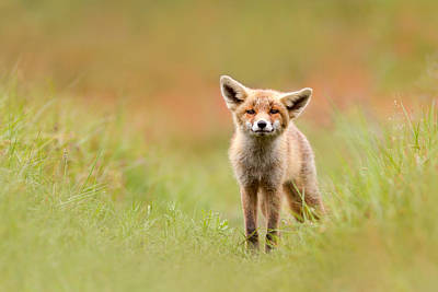 Sorrel Photograph - The Funny Fox Kit by Roeselien Raimond