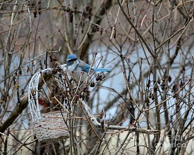 Photograph - The Gathering Blue Jay by Marjorie Imbeau