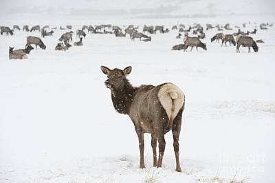 Grazing Elk Photograph - The Gathering by Sandra Bronstein