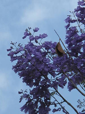 Photograph - The Gentle Jacarandas Of Blantyre by Frank Chipasula