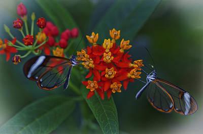 The Glasswinged Butterfly Art Print by Maj Seda