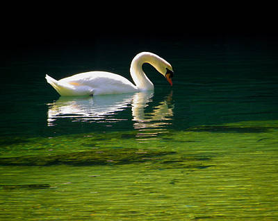 Photograph - The Glowing Swan by Judy Wanamaker