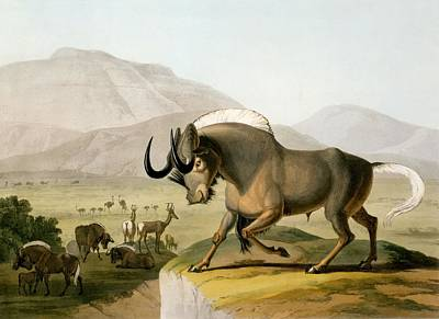 Wilderness Drawing - The Gnoo, 1804 by Samuel Daniell