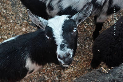 Art Print featuring the photograph The Goat With The Gorgeous Eyes by Verana Stark