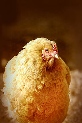 Photograph - The Golden Chicken by Caitlyn  Grasso