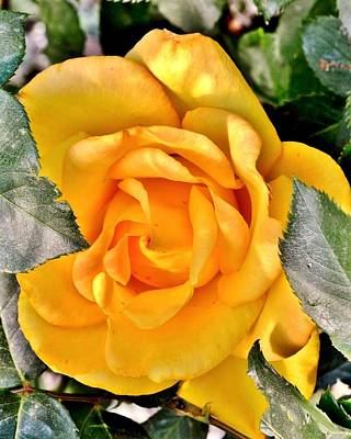 Surrealism Royalty-Free and Rights-Managed Images - The Golden Rose by Kim Bemis