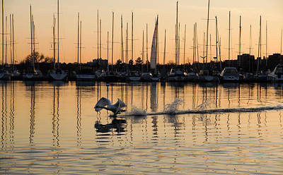 The Golden Takeoff - Swan Sunset And Yachts At A Marina In Toronto Canada Art Print by Georgia Mizuleva