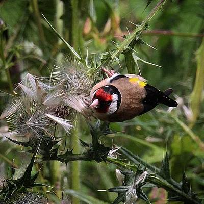 Finch Wall Art - Photograph - The #goldfinches Are Enjoying The by Miss Wilkinson