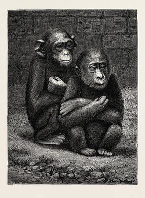 Chimpanzee Drawing - The Gorilla And Chimpanzee Exhibited At The Crystal Palace by English School