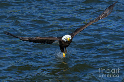 Eagle Photograph - The Grab by Mike Dawson