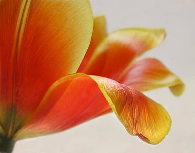 Photograph - The Grace Of A Tulip Petal by David and Carol Kelly