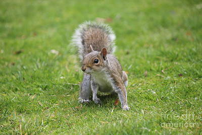 Photograph - The Gray Squirrel by David Grant