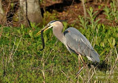 Photograph - The Great Blue Heron And The Freshwater Eel by Kathy Baccari