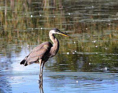 Photograph - The Great Blue Heron by Davandra Cribbie
