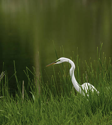 The Great Egret 3 Art Print