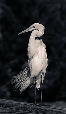 D700 Photograph - The Great Egret by Chris Modlin