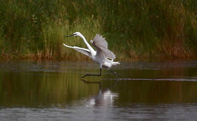 Art Print featuring the photograph The Great Egret by Leticia Latocki