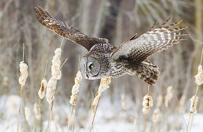 Great Grey Owl Photograph - The Great Grey Hunter by Mircea Costina Photography