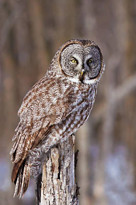 Great Grey Owl Photograph - The Great Grey Owl by Mircea Costina Photography