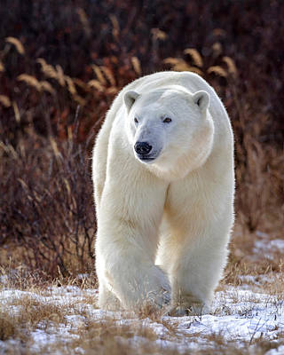 Photograph - The Great White Bear by Jack Bell