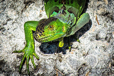 Photograph - The Green Iguana by Rene Triay Photography