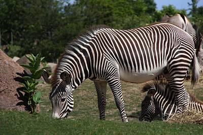 Photograph - The Grevy's Zebra by Davandra Cribbie