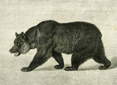 Grizzly Bears Drawing - The Grizzly Bear  Usa 1891 by American School