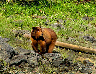 The Grizzly Art Print by Robert Bales