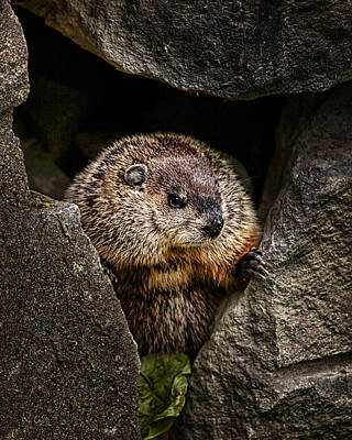 Biology Photograph - The Groundhog by Bob Orsillo