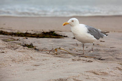 Photograph - The Gull by Sara Hudock