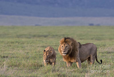 Photograph - The Happy Couple - Mating Lions by Sandra Bronstein