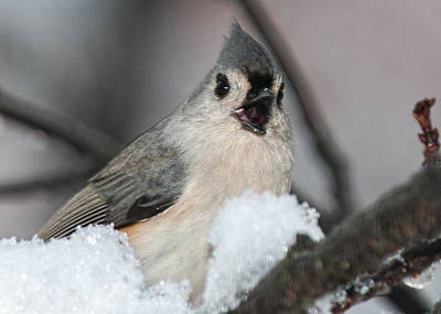Photograph - The Happy Titmouse by Lara Ellis