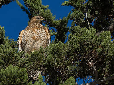 Photograph - The Hawk by Derek Dean