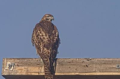 Red Tail Hawk Photograph - The Hawk Looks Around by Jeff Swan
