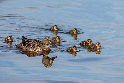Anas Platyrhynchos Photograph - The Hen And Brood Of Young Mallard by Michael Qualls