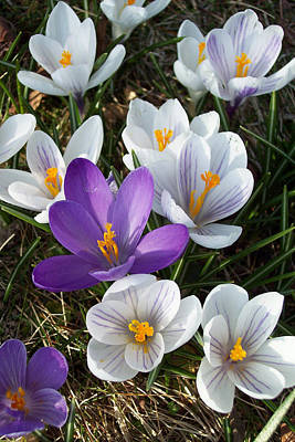 Photograph - The Herald Of Spring by Georgia Hamlin