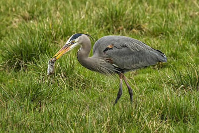 Photograph - The Heron's Catch by Belinda Greb