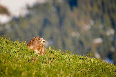 Photograph - The Hills Are Alive With The Sound Of Marmots by Ronda Broatch
