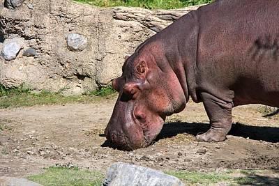 Photograph - The Hippo by Davandra Cribbie