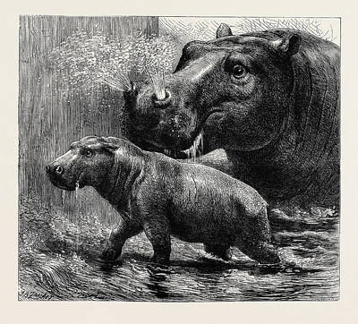 Hippopotamus Drawing - The Hippopotamus And Her Young One At The Zoological Gardens by English School
