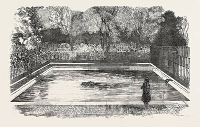Hippopotamus Drawing - The Hippopotamus In His New Bath In The Zoological Societys by English School